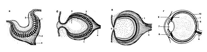 Фоторецепция восприятие света Зоология Реферат доклад  Рис 42 Различные типы глаз а глазная чаша б глазная ямка в глазной бокал г глазной пузырь с линзой 1 зрительные клетки 2 пигментные