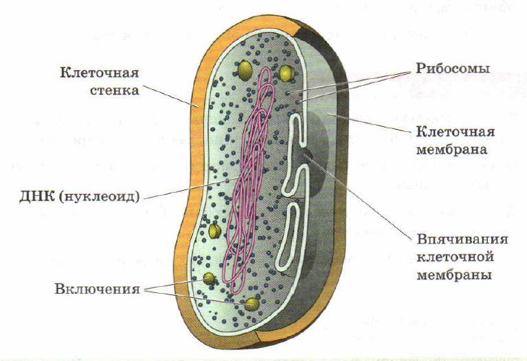 Прокариоты Микробиология Реферат доклад сообщение кратко  Строение клетки бактерии