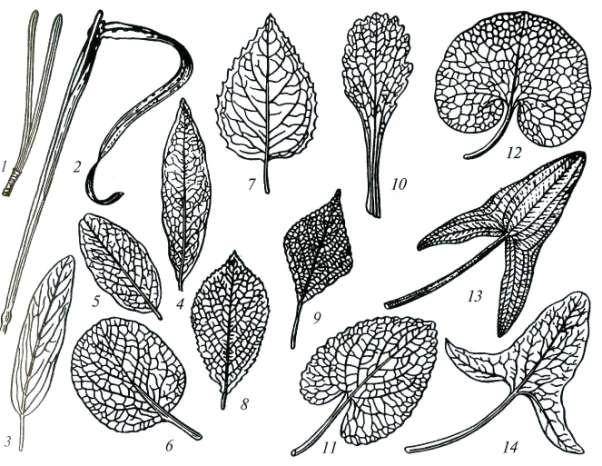 Внешнее строение листа части форма размеры расположение  Рис 34 Листья с цельной листовой пластинкой 1 игольчатый 2 линейный 3 продолговатый 4 ланцетный 5 овальный 6 округлый 7 яйцевидный 8
